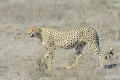 猎豹(猎豹属jubatus)在大草原 库存照片