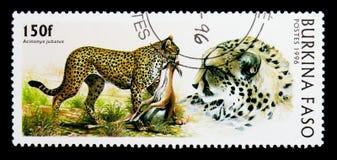 猎豹(猎豹属jubatus),狂放的猫serie,大约1996年 免版税库存图片