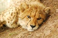 猎豹崽纵向 图库摄影