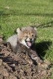 猎豹崽缠结 库存照片