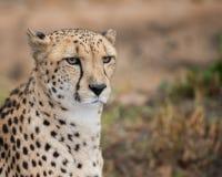 猎豹画象 图库摄影