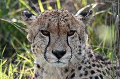 猎豹画象 库存图片