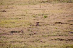 猎豹1,南非 库存照片