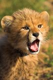猎豹崽 免版税库存图片