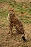 猎豹 免版税库存照片