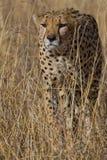 猎豹 库存照片