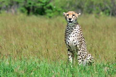 猎豹 免版税库存图片