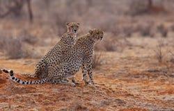 2头猎豹 免版税图库摄影