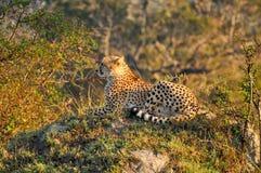 猎豹 免版税图库摄影