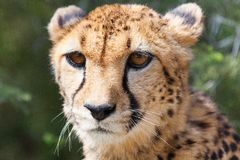 猎豹5 库存图片