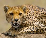 猎豹geppard纵向种类 特写镜头 肯尼亚 坦桑尼亚 闹事 国家公园 serengeti 马赛马拉 免版税库存照片