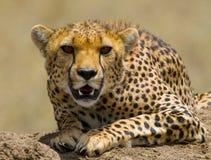 猎豹geppard纵向种类 特写镜头 肯尼亚 坦桑尼亚 闹事 国家公园 serengeti 马赛马拉 库存照片