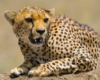 猎豹geppard纵向种类 特写镜头 肯尼亚 坦桑尼亚 闹事 国家公园 serengeti 马赛马拉 图库摄影