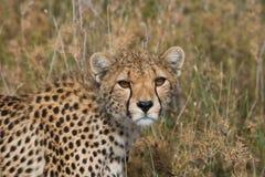 猎豹geppard纵向种类 特写镜头 肯尼亚 坦桑尼亚 闹事 国家公园 serengeti 马赛马拉 免版税库存图片