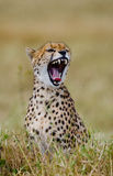 猎豹geppard纵向种类 特写镜头 肯尼亚 坦桑尼亚 闹事 国家公园 serengeti 马赛马拉 免版税图库摄影