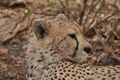 猎豹geppard纵向种类 图库摄影
