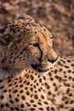 猎豹geppard纵向种类 库存图片