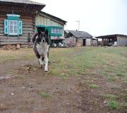 猎鸟犬情节比赛狩猎山地 免版税图库摄影