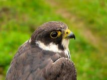 猎鹰业余爱好 免版税图库摄影