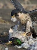 猎鹰和牺牲者 库存图片