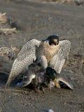猎鹰和鸭子 免版税库存照片