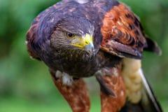 猎鹰在寻找他的牺牲者的森林里 库存照片