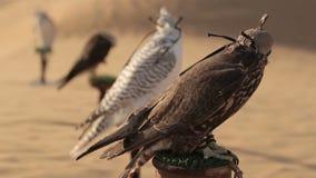 猎鹰在沙漠,迪拜 股票视频