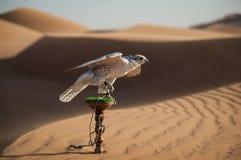 猎鹰在沙漠 免版税库存照片