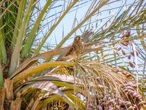猎鹰坐棕榈树的分支 免版税图库摄影