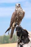 猎鹰现有量处理程序 免版税图库摄影