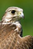 猎鹰纵向 免版税库存图片