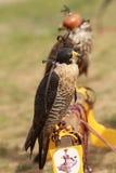 猎鹰节日戴头巾印第安当地人 库存图片