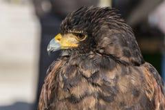 猎鹰训练术老鹰的头的特写镜头视图 免版税库存图片