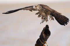 猎鹰训练术gyrfalcon 免版税库存图片