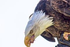 猎鹰训练术 吃从fal的美国白头鹰鸷小鸡 免版税库存图片