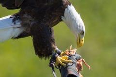 猎鹰训练术 在一副以鹰狩猎者` s手套的美国白头鹰在p鸟  免版税库存照片