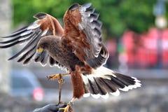 猎鹰附有经理手套 图库摄影