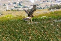 猎鹰,阿根廷 免版税图库摄影