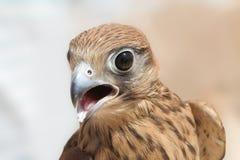 猎鹰 库存图片