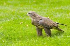 猎鹰 免版税图库摄影
