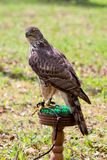 猎鹰 免版税库存图片