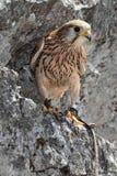猎鹰3 库存图片