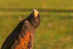 猎鹰Closup在日落的 免版税图库摄影