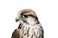 猎鹰saker 免版税库存照片