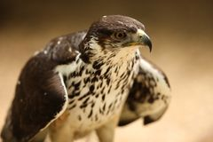 猎鹰saker 免版税库存图片
