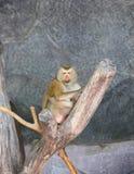 猕猴属短尾猿猴子被盯梢的nemestrina猪 免版税库存图片
