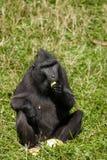 猕猴属老黑 免版税库存图片