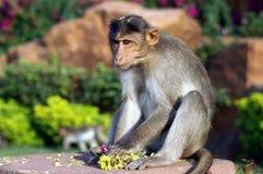猕猴属 库存图片