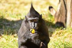 猕猴属老黑婴孩 免版税图库摄影
