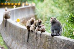 猕猴属cyclopis 库存照片